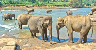 Elephants At Pinnawala Elephant Orphanage, Sri Lanka. Pinnawala Elephant Orphanage is an orphanage, nursery and captive breeding ground for wild Asian elephants Royalty Free Stock Photo