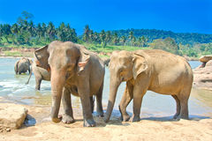 Elephants At Pinnawala Elephant Orphanage, Sri Lanka. Pinnawala Elephant Orphanage is an orphanage, nursery and captive breeding ground for wild Asian elephants Royalty Free Stock Images