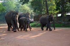 Elephants in Pinnawala orphanage in Sri Lanka Royalty Free Stock Photography