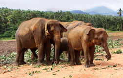 Elephants of Pinnawela Stock Photos