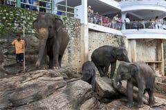 Elephants from the Pinnawela Elephant Orphanage (Pinnewala) relax on the bank of the Maha Oya River in Sri Lanka. Royalty Free Stock Photo