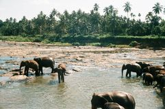 Elephants in Pinnawela / Sri Lanka Royalty Free Stock Photos