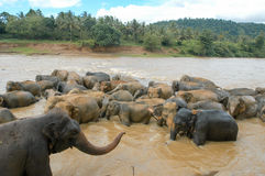 Elephants from the Pinnewala Elephant Orphanage enjoy their dail Stock Photo