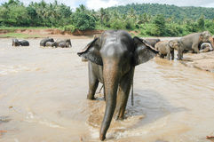 Elephants from the Pinnewala Elephant Orphanage enjoy their dail Royalty Free Stock Photo