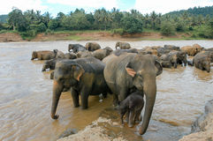 Elephants from the Pinnewala Elephant Orphanage enjoy their dail Stock Photography