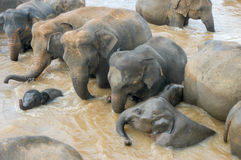 Elephants from the Pinnewala Elephant Orphanage enjoy their dail Royalty Free Stock Photography