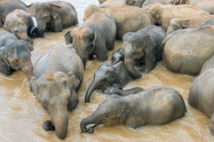 Elephants from the Pinnewala Elephant Orphanage enjoy their dail Royalty Free Stock Image
