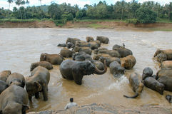 Elephants from the Pinnewala Elephant Orphanage enjoy their dail Stock Images