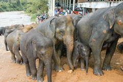 Elephants from the Pinnewala Elephant Orphanage enjoy their dail Stock Image