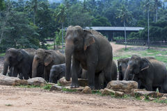 Elephants at the Pinnawala Elephant Orphanage (Pinnawela) in central Sri Lanka. Stock Photography