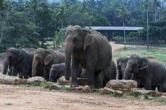 Elephants at the Pinnewala Elephant Orphanage (Pinnawela) in central Sri Lanka. Stock Photography
