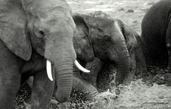 Elephants plaing in the mud Royalty Free Stock Images