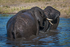 Elephants play fighting in river in sunshine Royalty Free Stock Images