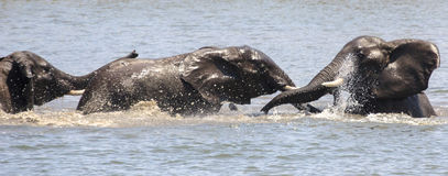 Elephants Play fighting Stock Photos