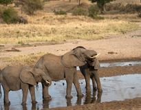 Elephants play fighting. Two baby elephants standing in water and play fighting, one showing pink gums. Tarangire National Park, Tanzania, Africa Royalty Free Stock Photography