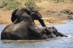 Elephants Play fighting Stock Images