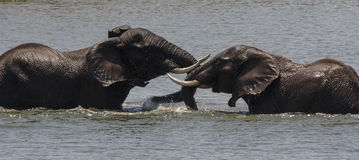 Elephants Play fighting Royalty Free Stock Images