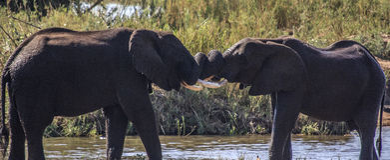 Elephants Play fighting Royalty Free Stock Photos