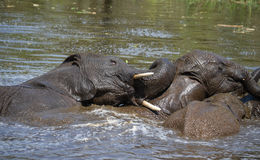 Elephants at play in the water, Lake Panic, Kruger National Park Stock Photography