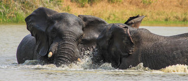 Elephants play in water stock image