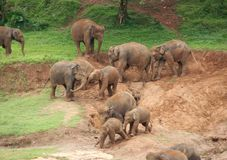 Elephants playing. These elephants had a lot of fun throwing sand at eachother Royalty Free Stock Photography