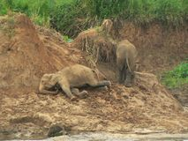 Elephants Playing. This is a picture of some elephants playing at the river bank Stock Photos