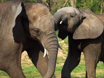 Elephants playing Royalty Free Stock Photos