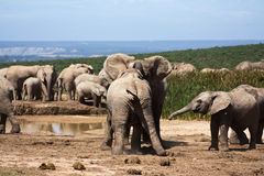 Elephants Playing stock image
