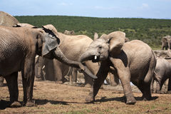 Elephants Playing Stock Photo