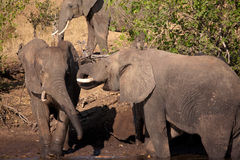 Elephants are playing royalty free stock photography