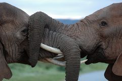 Elephants playing. Tow elephants with their trunks hooked playing in the late evening stock photo