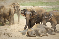 Elephants playing in the dust. Royalty Free Stock Image