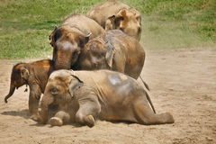 Elephants playing in the dust. Stock Photography