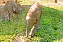 Elephants are playing on the farm Royalty Free Stock Photo
