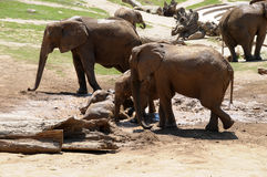 Elephants playing in the mud. Elephant family with baby elephants playing in the mud Royalty Free Stock Photography