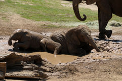 Elephants playing in the mud. Elephant family with baby elephants playing in the mud Stock Photos