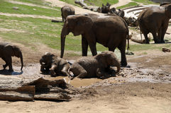 Elephants playing in the mud. Elephant family with baby elephants playing in the mud Royalty Free Stock Photos