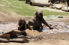 Elephants playing in the mud stock image