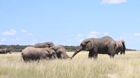 Elephants playing at a mud hole stock video