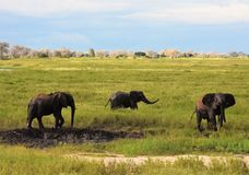 Elephants playing in the mud hole Stock Photography