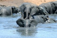 Elephants playing in muddy water. African elephants playing in muddy water on a very hot day Stock Photo