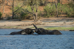 Elephants playing in the river in Chobe National Park in Botswan Royalty Free Stock Photography