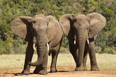 Elephants playing Royalty Free Stock Photography