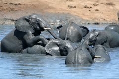 Elephants playing in water. African elephants playing in muddy water on a very hot day Royalty Free Stock Images