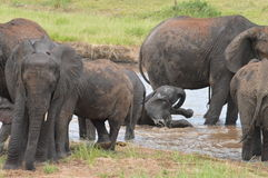 Elephants playing in the water Royalty Free Stock Photography