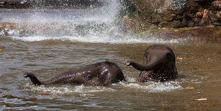 Elephants playing in water Stock Photography