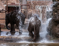 Elephants playing in water Royalty Free Stock Image