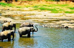 Elephants playing. With water in the river in Sri Lanka Stock Image