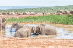 Elephants playing in a waterhole Stock Images