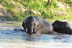 Elephants playing in the watering hole Stock Photography